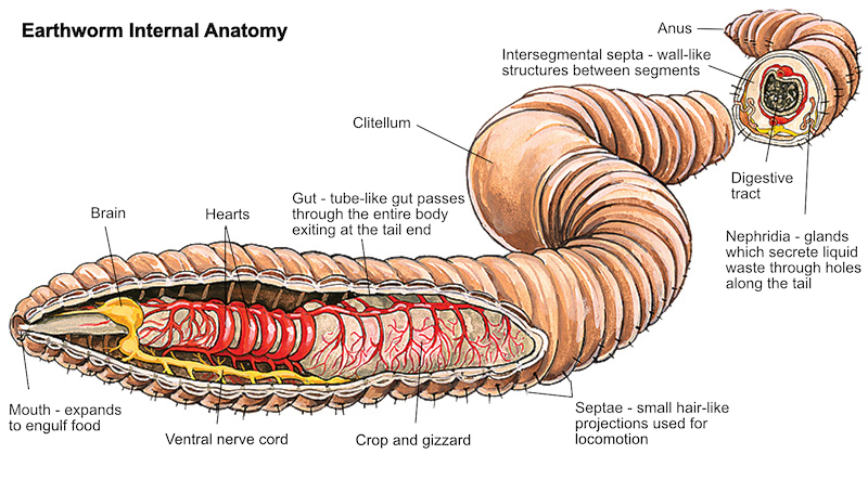 Worms are the intestines of the Earth - anatomy of an earthworm. Image © Rick Kollath